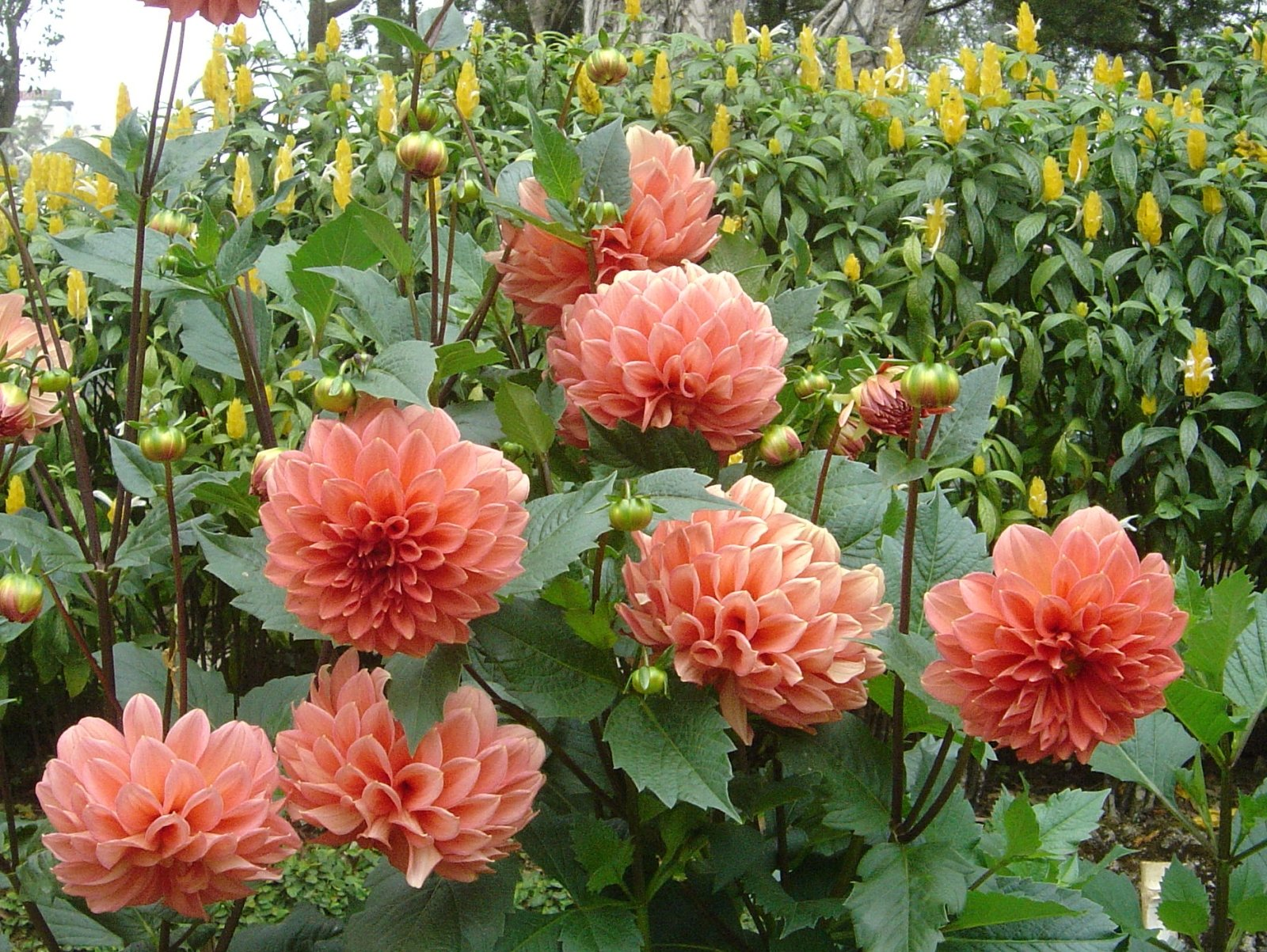 The pride of your garden dahlia sachi shiksha the spiritual the pride of your garden dahlia the vanity of the garden and the king of winter dahlia is at the pinnacle of fame because of its unmatchable beauty izmirmasajfo