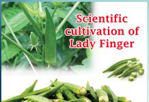 Lady Finger Cultivation in scientific way and its scientific name- Sachi Shiksha