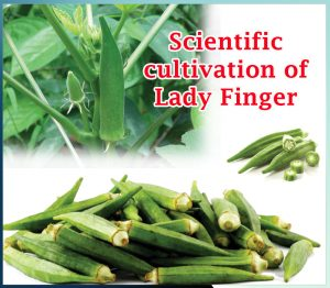 Scientific cultivation of lady finger