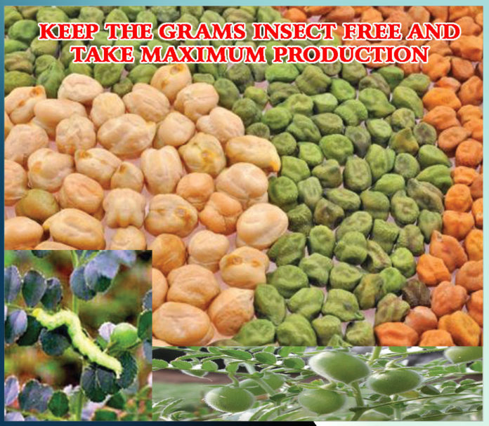 keep the grams insect free to get more production Sachi Shiksha